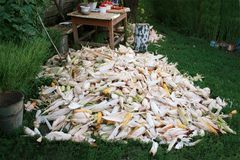 A pile of corn on the grass. Harvesting riped corn Stock Photos