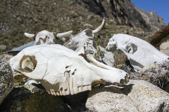 Pile of cow skulls Royalty Free Stock Image
