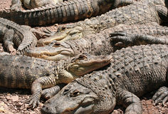 Pile of Crocs. Crocodiles piled on one another royalty free stock photo