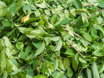 A pile of cut branch. Wrightia religiosa (Apocynaceae) and climbing ylang-ylang Royalty Free Stock Image