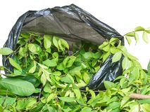 A pile of cut branch,Wrightia religiosa Apocynaceae and climbing ylang-ylang,in garbage bage Stock Image