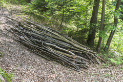 A pile of cut branches. On the ground in the woods in Roznow , Poland. Europe Stock Photography
