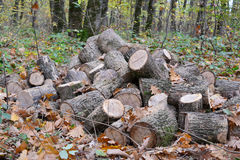 Pile of cut out firewood in autumn oak forest Stock Image
