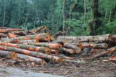 Pile of cut trees in logged forest Stock Photo