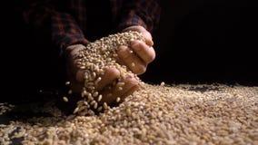 Pile d'entier de l'orge perlée ou du blé qui tombent de ci-dessus sur le fond noir Nourriture de plan rapproché d'agriculture mac clips vidéos