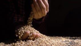 Pile d'entier de l'orge perlée ou du blé qui tombent de ci-dessus sur le fond noir Nourriture de plan rapproché d'agriculture mac banque de vidéos
