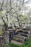 Pile de bois de chauffage d'une manière ordonnée disposée dans un verger sous un prunier de floraison photo stock