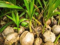 Pile de noix de coco de jeune arbre pour planter dans la ferme Images libres de droits