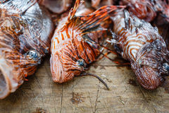 Pile of Dead Invasive species Lion Fish, Pterois volitans, on a table Stock Photo
