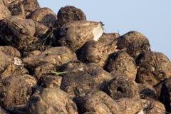 Pile des betteraves à sucre moissonnées Images libres de droits