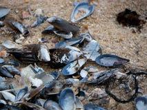Pile des coquilles vides de moule et de ventouse sur la plage sablonneuse images stock