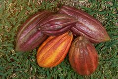 Pile des cosses de fruit de cacao Photo stock
