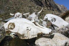 Pile des crânes de vache Image libre de droits