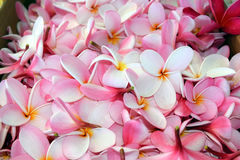 Pile des fleurs roses de plumeria, Hawaï images stock