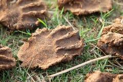Pile des gâteaux secs de bouse de vache Images stock