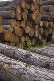 Pile des larchs sibériens. Photographie stock