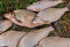Pile des poissons communs de brème, poisson crucian, poissons de gardon, f morne Photos libres de droits