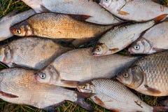 Pile des poissons communs de brème, poisson crucian, poissons de gardon, f morne Images stock
