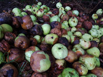 Pile des pommes putréfiées Photo libre de droits