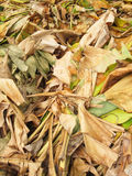 Pile of dried banana leaves. Texture Royalty Free Stock Photos