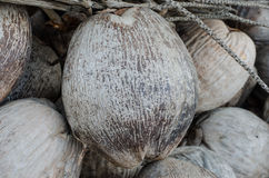 Coconuts. Pile of dried coconuts with in organic farm Royalty Free Stock Images