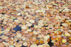 Pile of dried leaves in a pond Stock Images