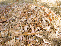 Pile of dried leaves raked Royalty Free Stock Photo