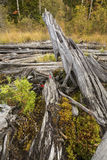 Pile of driftwood with moss and cedar seedlings, northwestern Ma Royalty Free Stock Photography