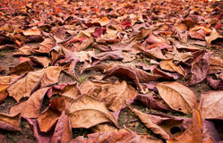 Pile of Dry leaf on floor  in autumn Royalty Free Stock Photography