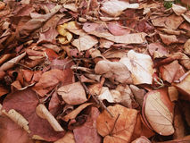 Pile of dry sacred fig or Ficus religiosa's leaves Royalty Free Stock Photography