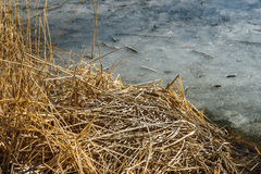 Pile of dry water reed and the melting ice in the pond. Remnats Stock Images