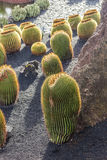 Pile of Echinocactus grusonii, cactus typical of southern hemis Royalty Free Stock Photos