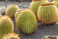 Pile of Echinocactus grusonii, cactus typical of southern hemis Stock Photos