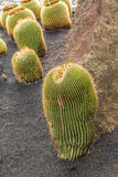 Pile of Echinocactus grusonii, cactus typical of southern hemis Royalty Free Stock Photo