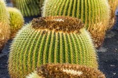 Pile of Echinocactus grusonii, cactus typical of southern hemis Royalty Free Stock Images