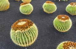 Pile of Echinocactus grusonii,. A pile of Echinocactus grusonii, cactus typical of southern hemisphere countries royalty free stock photos