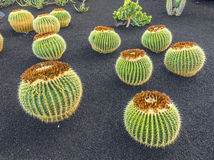 Pile of Echinocactus grusonii, Stock Photos
