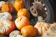 Pile of Fall Pumpkins and Old Rusty Antique Tire. Fresh Orange Pumpkins and Old Rusty Antique Tire in a Rustic Outdoor Fall Setting stock photo
