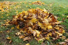 Pile fallen autumn leaves. Of maple Royalty Free Stock Images