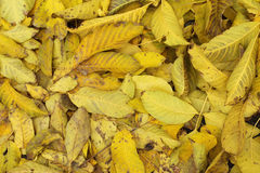 A pile of fallen leaves yellow background Royalty Free Stock Photos