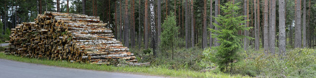 Pile of felled birch tree trunks, panorama royalty free stock image