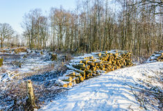 Pile of felled tree trunks in a winter forest. Winter forest in the Netherlands with a path, felled trees and piled trunks. The sun is shining and a layer of Stock Photo