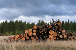 Pile of felled trees on dry grass on background of green conifer Stock Photo
