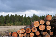 Pile of felled trees on foreground and green coniferous forest o Stock Photos