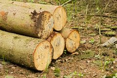 Pile of felled trees. People cut down trees in forest, felled trees lying in the forest, numbered tribes Stock Image