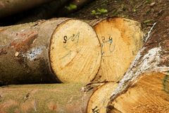Pile of felled trees. People cut down trees in forest, felled trees lying in the forest, numbered tribes Stock Photo
