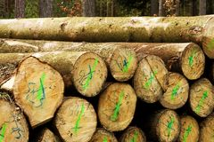 Pile of felled trees. People cut down trees in forest, felled trees lying in the forest, numbered tribes Stock Photography