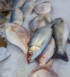 A pile of fish on ice at the market. Fish piled on ice at a seafood market at the end of the day royalty free stock image