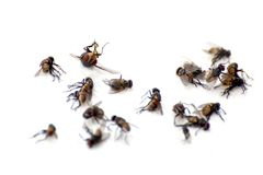 A pile of flies, macro many dead flies on white background, flies are carriers of typhoid tuberculosis selective focus. Pile of flies, macro many dead flies on royalty free stock photos