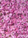 Floor covered with pink roses royalty free stock images